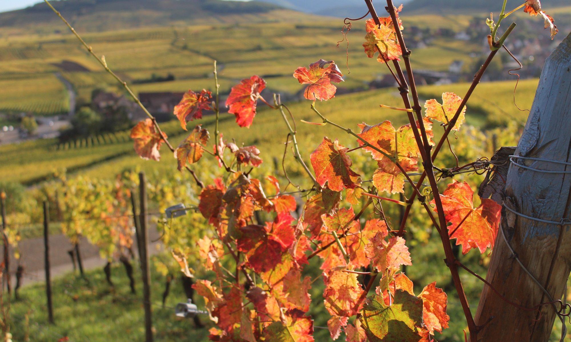 Vignoble Alsace Ribeauville Riquewihr